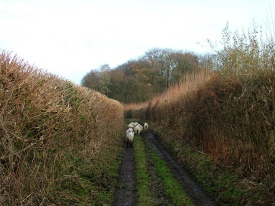 Holmer Green - Sheep in King Street lane - Stuart King - image (4) - Copy