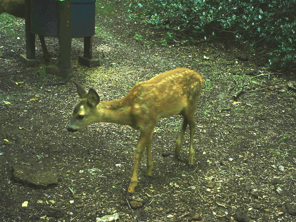 Muntjack Deer