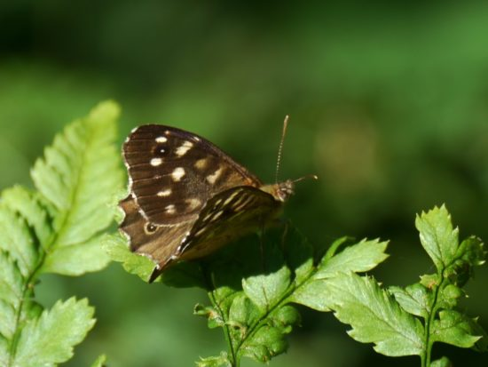 Dancing Speckled Woods
