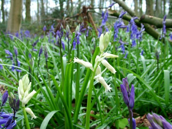 WildWood ,Blue and Whitbells