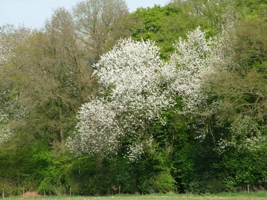 WildWood, Wild Cherry in full bloom,Stuart King image